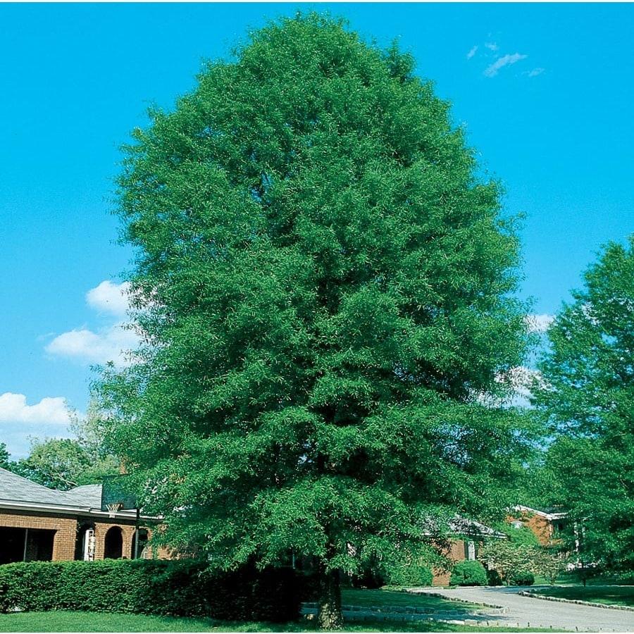12.7-Gallon Shingle Oak Shade Tree (L27253)