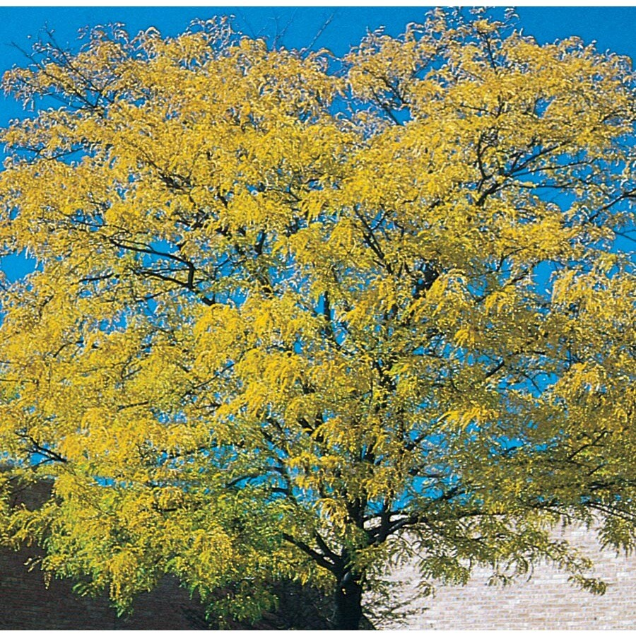 12.7-Gallon Golden Honeylocust Shade Tree (L5182)