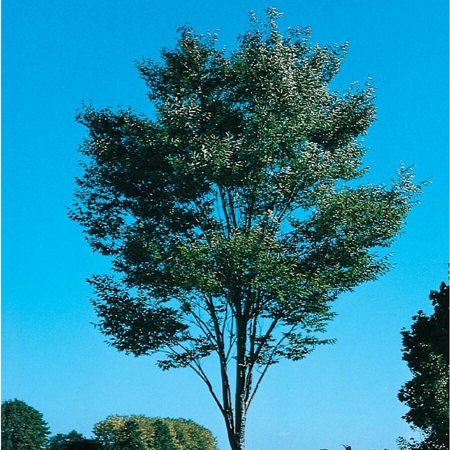 12.7-Gallon Green Vase Zelkova Shade Tree (L7836)