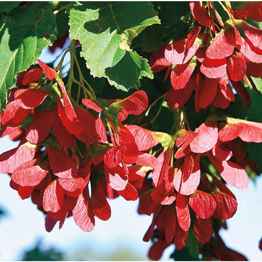 12.7-Gallon Hot Wings Tatarian Maple Feature Tree (L27236)