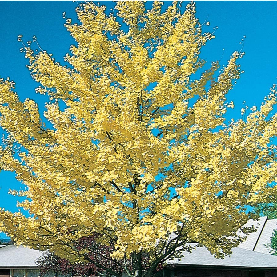 12.7-Gallon Autumn Gold Maidenhair Tree Shade Tree (L7516)