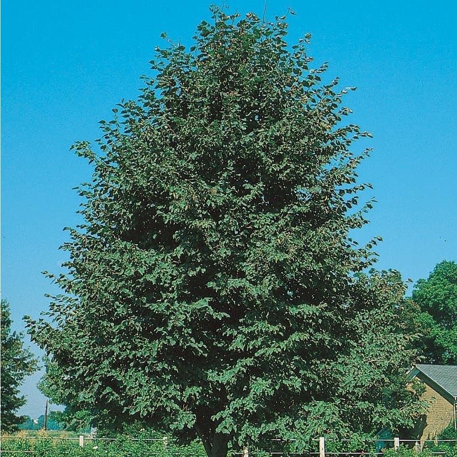 12.7-Gallon Greenspire Linden Shade Tree (L1072)