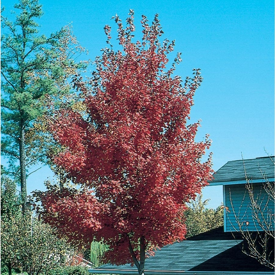 12.7-Gallon Firefall Maple Shade Tree (L27237)