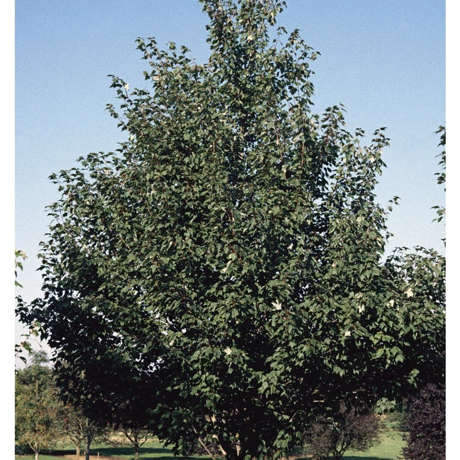 12.7-Gallon Sienna Glen Maple Shade Tree (L22208)