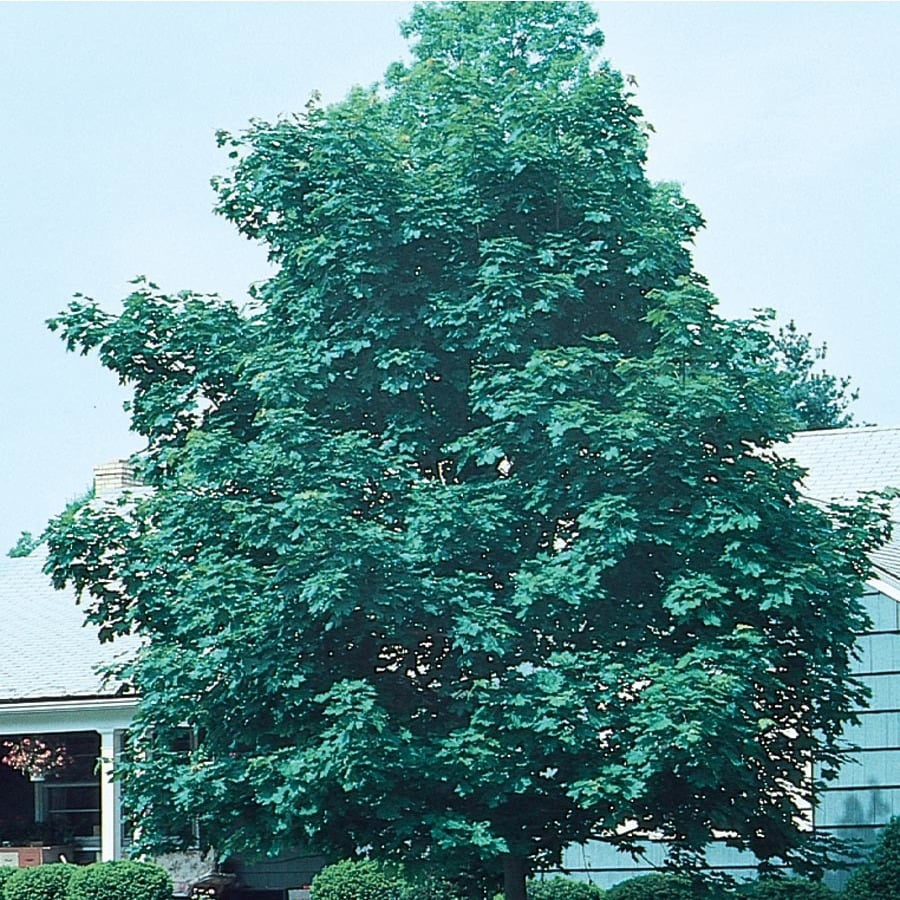 12.7-Gallon Emerald Queen Norway Maple Shade Tree (L1014)