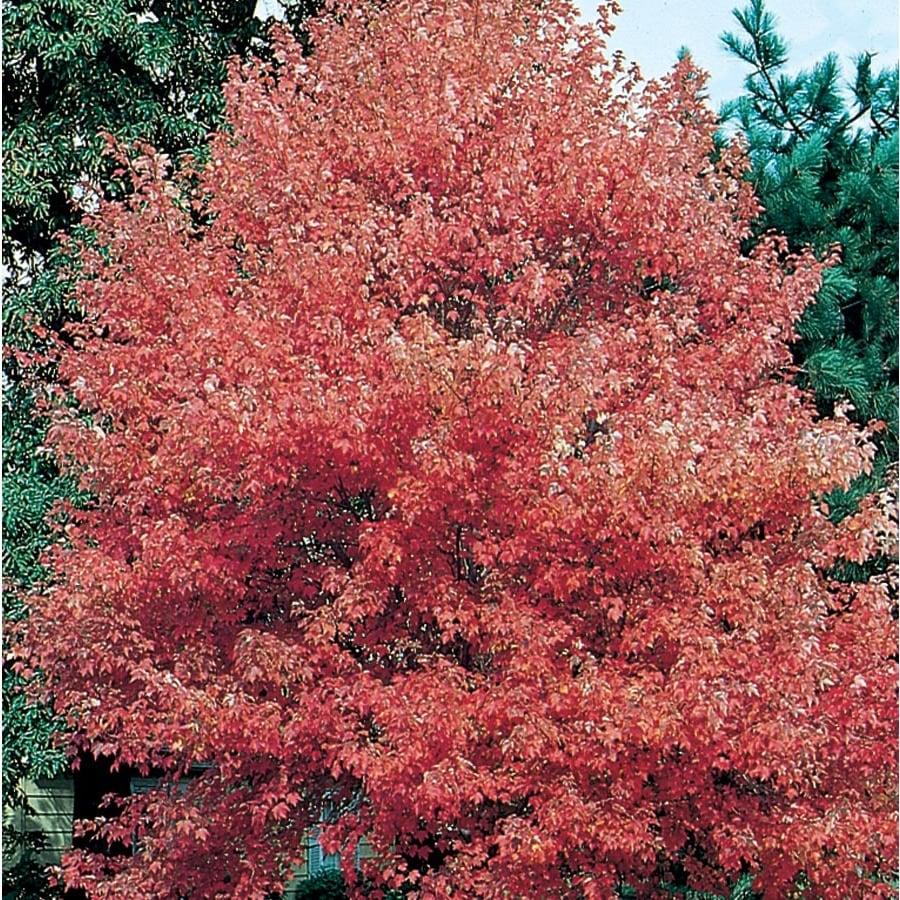 12.7-Gallon Autumn Flame Maple Shade Tree (L3170)