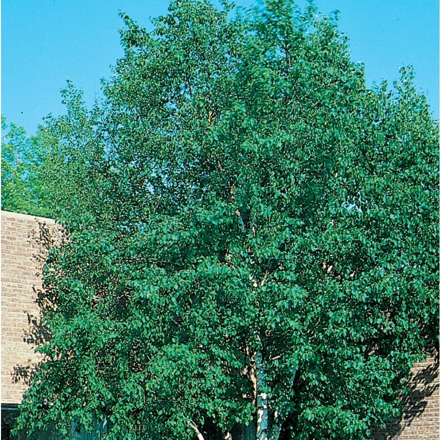 12.7-Gallon Heritage Clump River Birch Feature Tree (L5406)