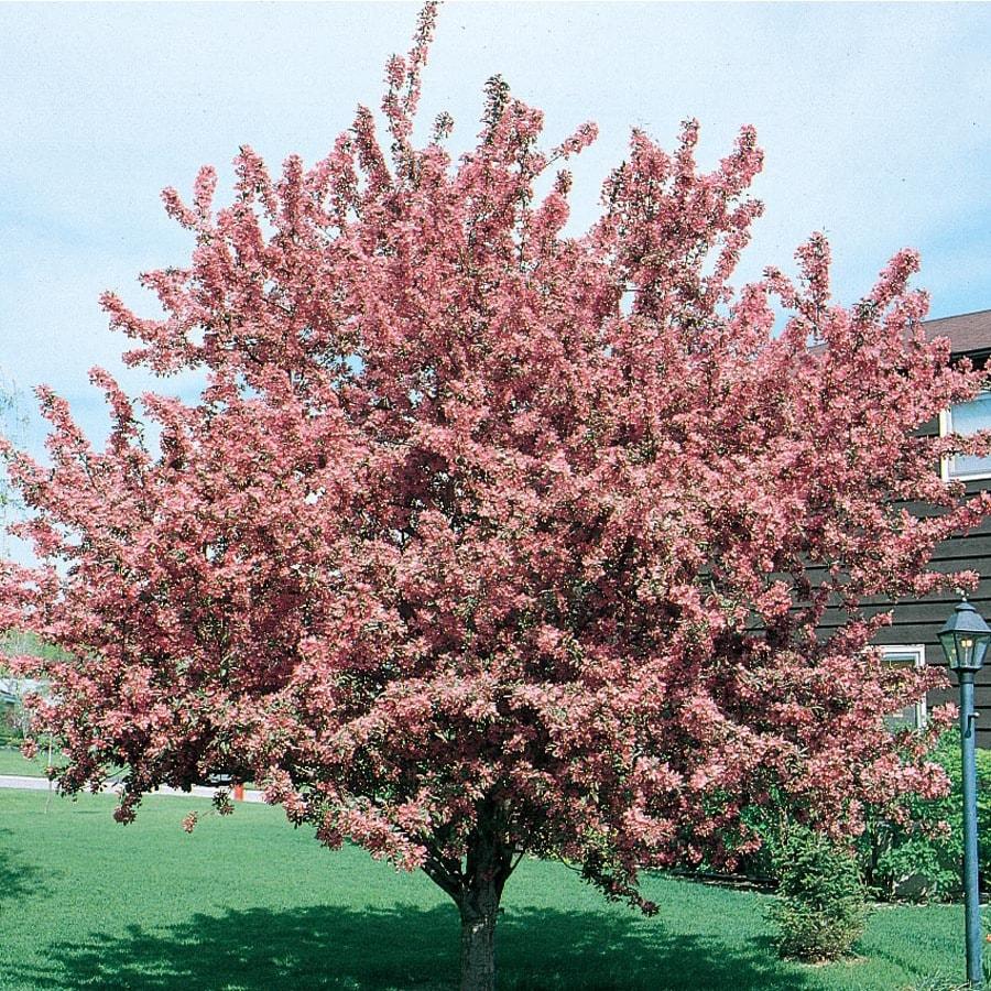 12.7-Gallon Indian Magic Crabapple Flowering Tree (L1083)