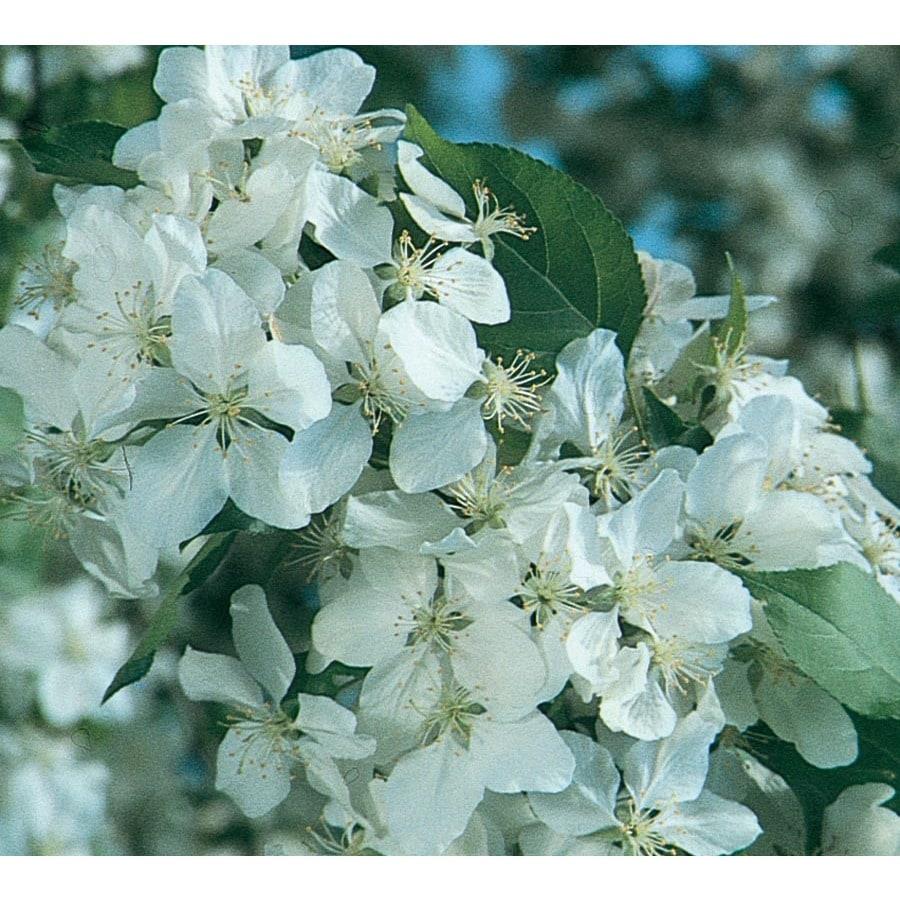 12.7-Gallon Red Jade Crabapple Flowering Tree (L4156)