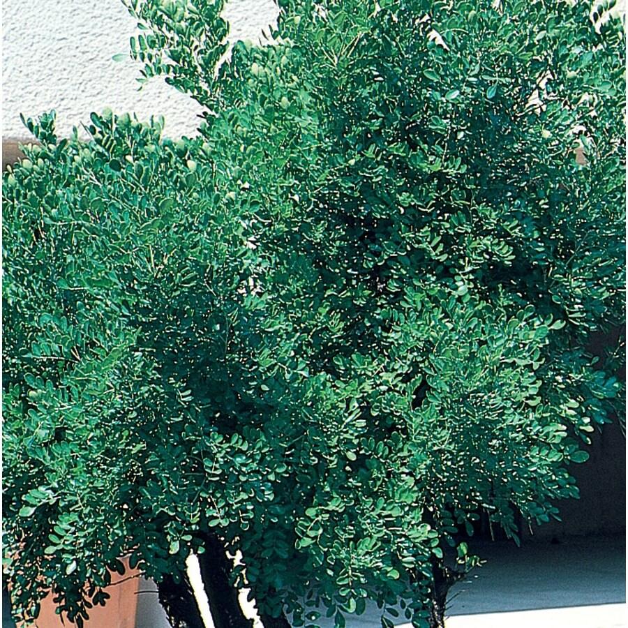 12.7-Gallon Millstone Japanese Pagoda Shade Tree (L27257)