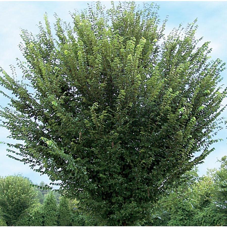 12.7-Gallon Princeton Elm Shade Tree (L26379)