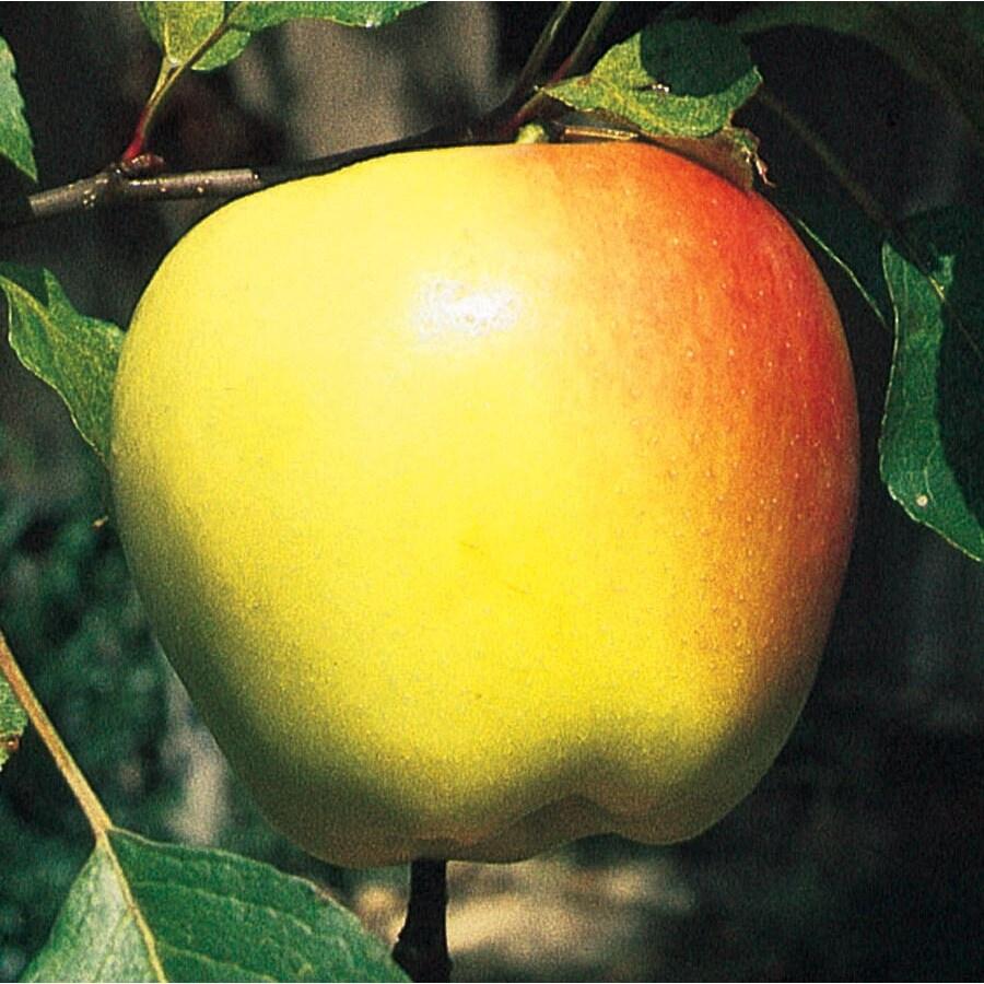 3.64-Gallon Northern Semi-Dwarf Spy Apple Tree (L6932)