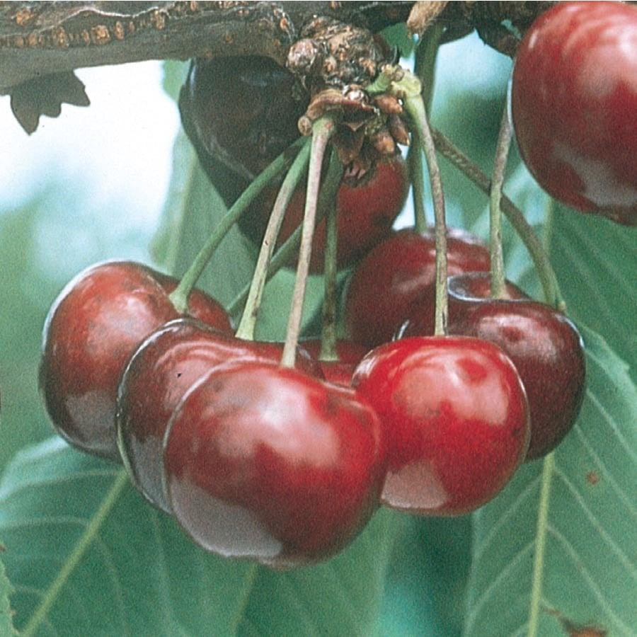 3.64-Gallon Lapins Sweet Cherry Tree (L10479)
