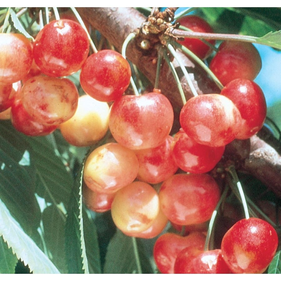 3.64-Gallon Rainier Cherry Tree (L10480)
