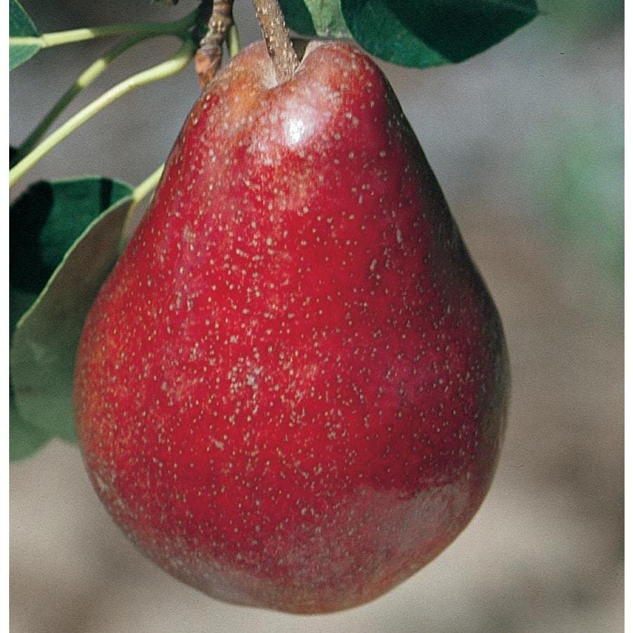 3.64-Gallon Red Bartlett Pear Tree (L11881)