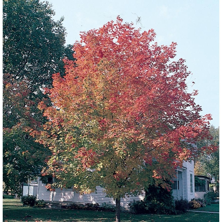 3.58-Gallon Fall Fiesta Sugar Maple Shade Tree (Lw02874)