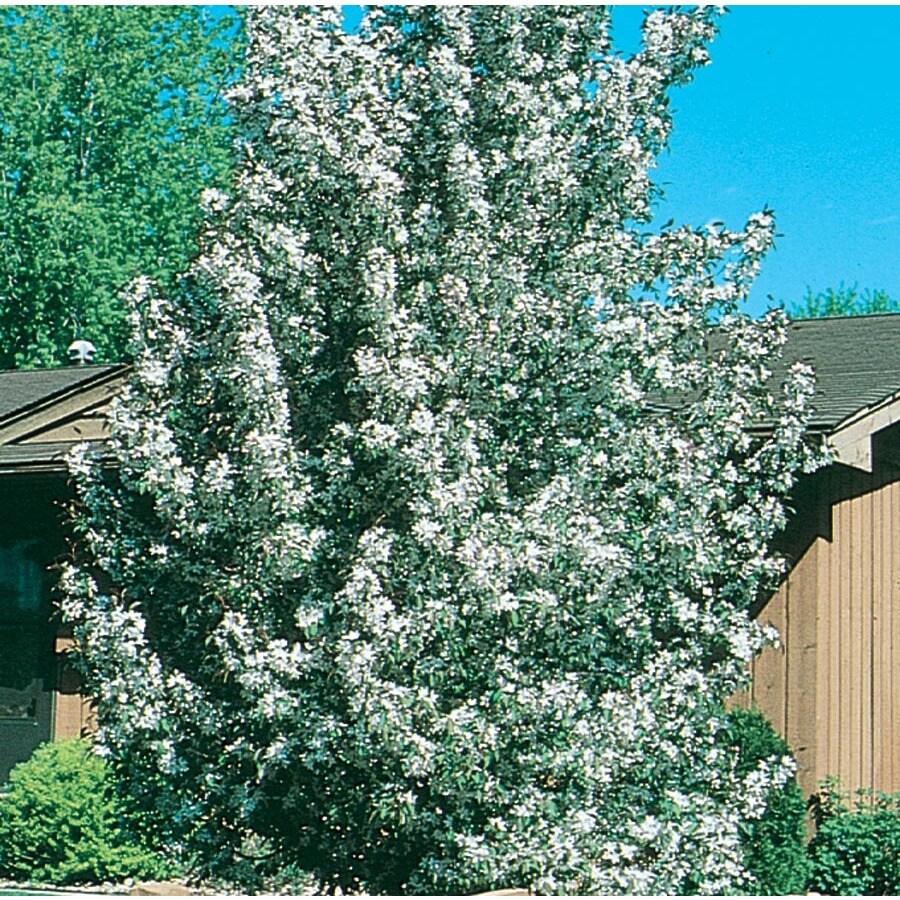 3.64-Gallon Sugar Tyme Crabapple Flowering Tree (L5195)