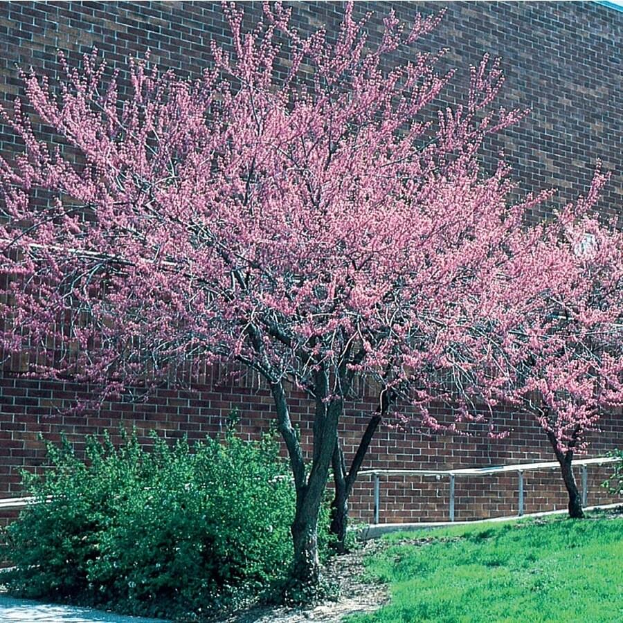 6.08-Gallon Redbud Flowering Tree (L11838)