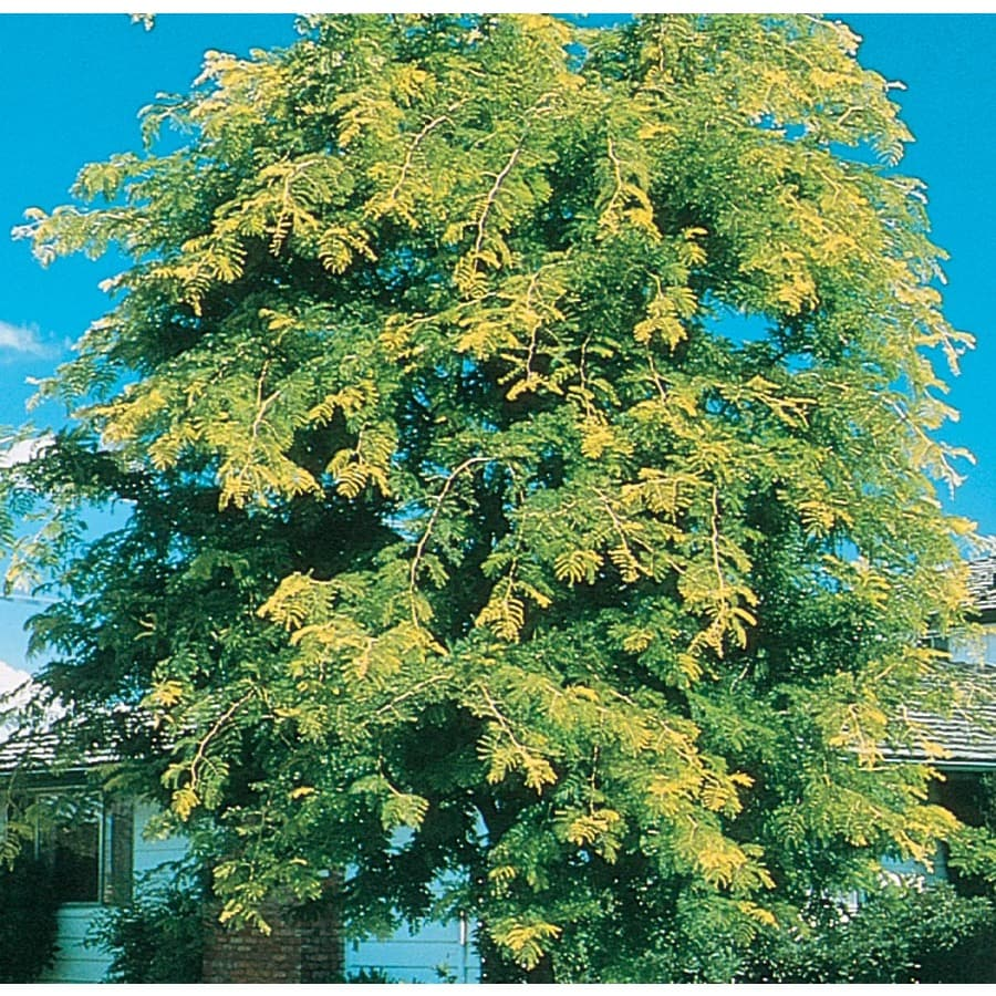 7.28-Gallon Sunburst Honeylocust Shade Tree (L1059)