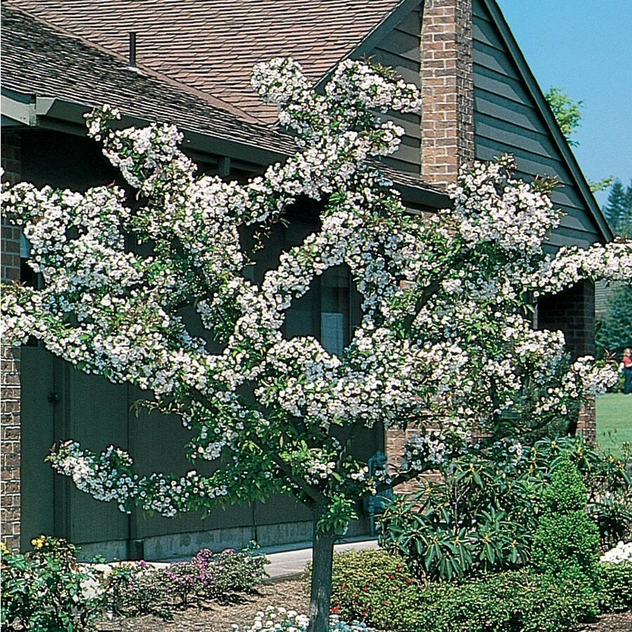 6.08-Gallon Zumi Crabapple Flowering Tree (L3595)