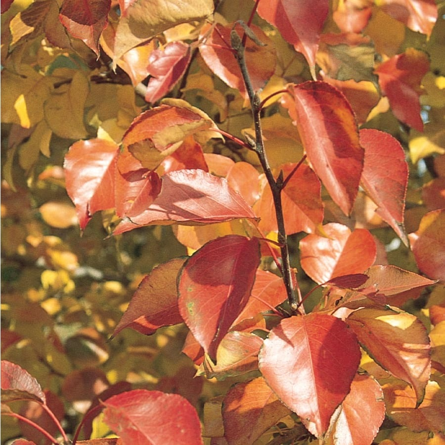 6.08-Gallon Autumn Blaze Flowering Pear Flowering Tree (L24032)