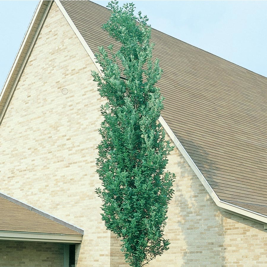 6.08-Gallon Scarlet Letter Oak Shade Tree (L27255)