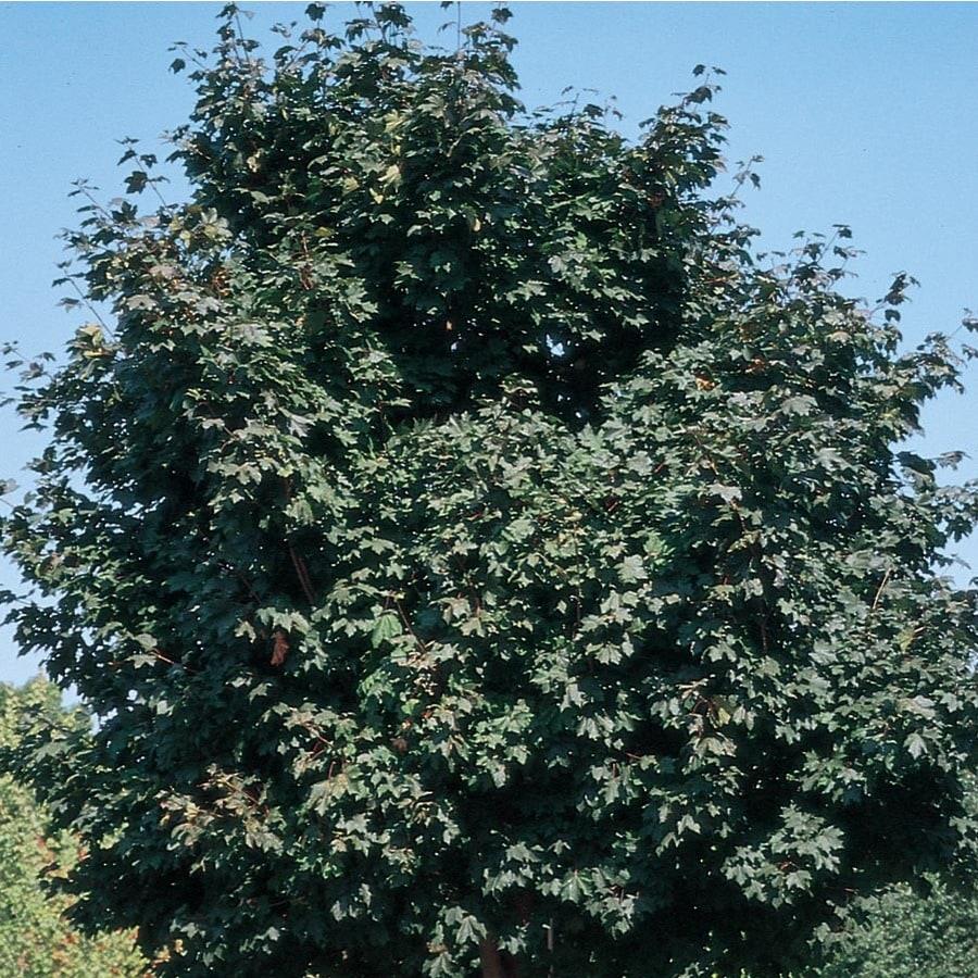 12.7-Gallon Deborah Norway Maple Shade Tree (L6141)