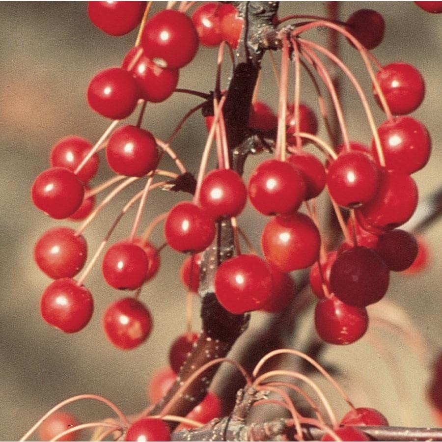 12.7-Gallon Red Jewel Crabapple Flowering Tree (L2084)