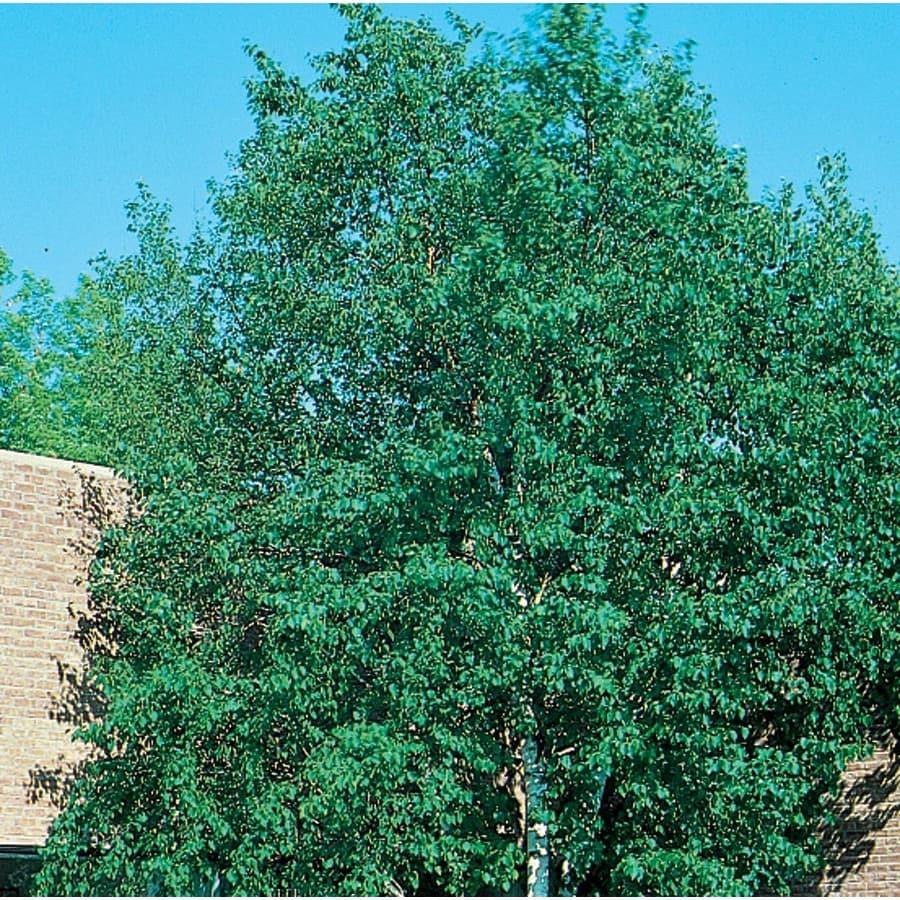 7.28-Gallon Heritage Clump River Birch Feature Tree (L5406)