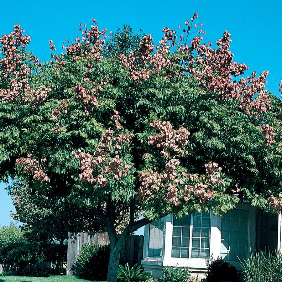 7.28-Gallon Golden Raintree Feature Tree (L1159)