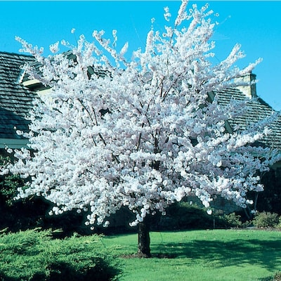 Autumnalis Cherry Blossom Tree Blooms Rose Pink Twice A Year In Spri Online Orchards