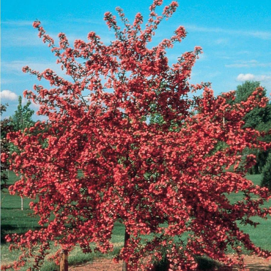 3.64-Gallon Crabapple Cardinal Flowering Tree (L6429)