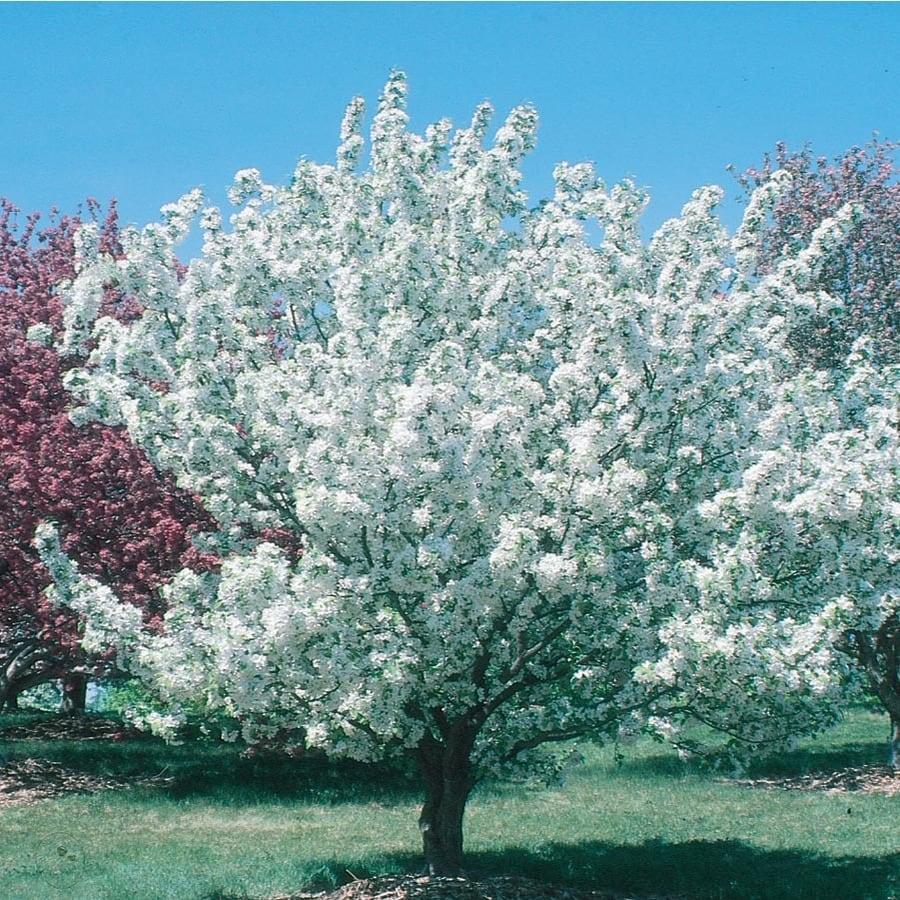 3.64-Gallon Crabapple Donald Wyman Flowering Tree (L7637)