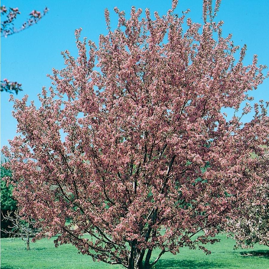 3.64-Gallon Crabapple Floribunda Rosea Flowering Tree (L5985)