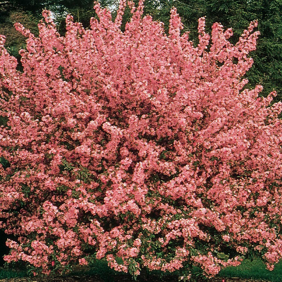 3.64-Gallon Red Crabapple Showtime Flowering Tree in Pot (With Soil) at Lowes.com
