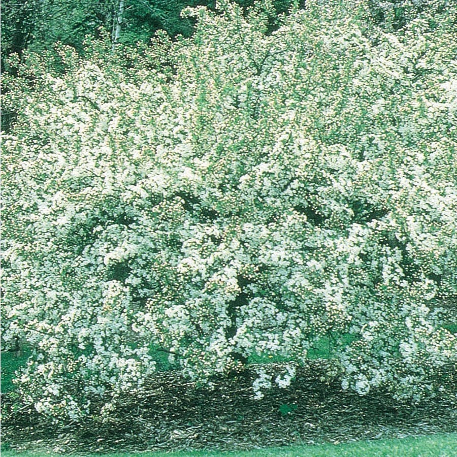 3.64-Gallon Crabapple Woven Gold Flowering Tree (L27251)