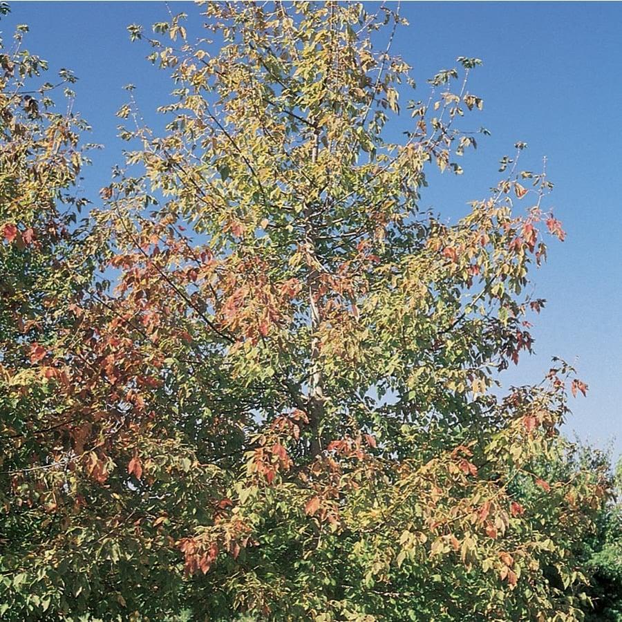 7.28-Gallon Maple Boxelder Sensation Shade Tree (L27233)