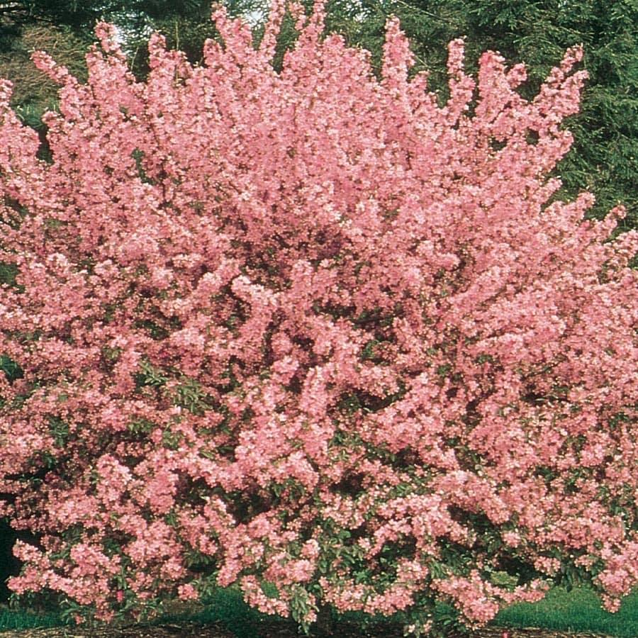 7.28-Gallon Crabapple Floribunda Rosea Flowering Tree (L14291)