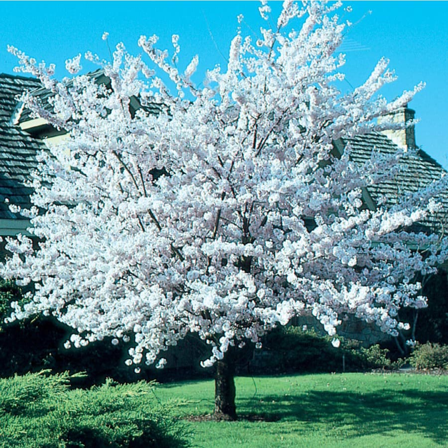 7 28 Gallon Pink Cherry Autumn Higan Flowering Tree In Pot