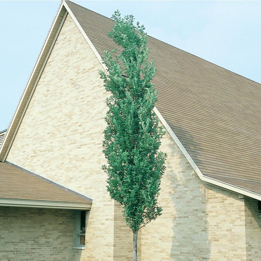7.28-Gallon Scarlet Letter Oak Shade Tree (L27255)