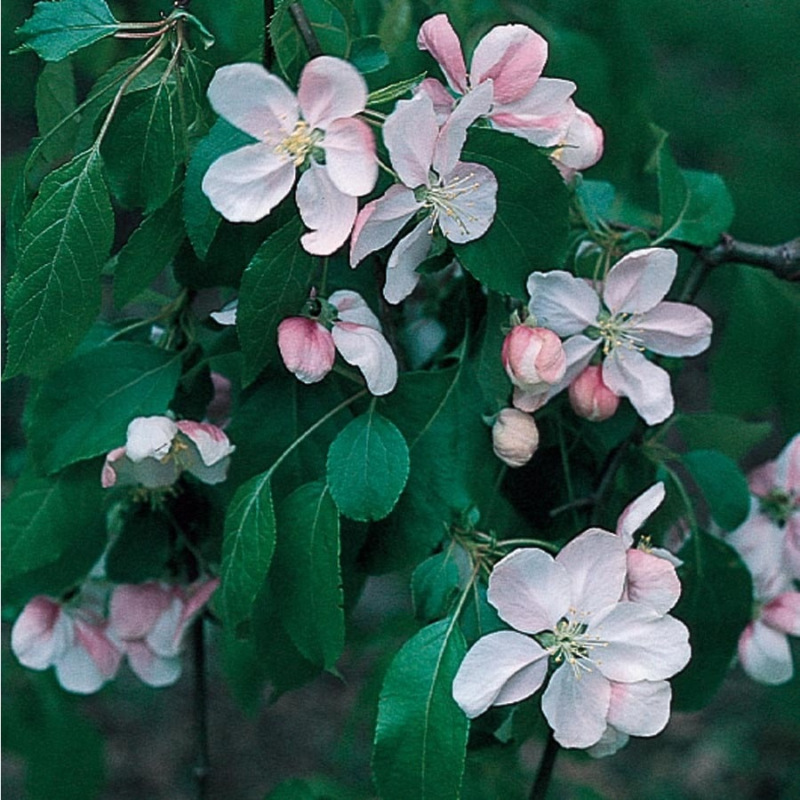 12.7-Gallon Crabapple Cardinal Robe Flowering Tree (L27242)