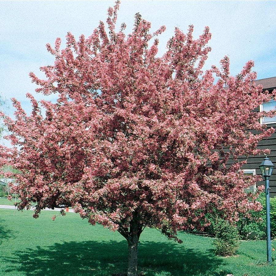 12.7-Gallon Crabapple Indian Magic Flowering Tree (L1083)