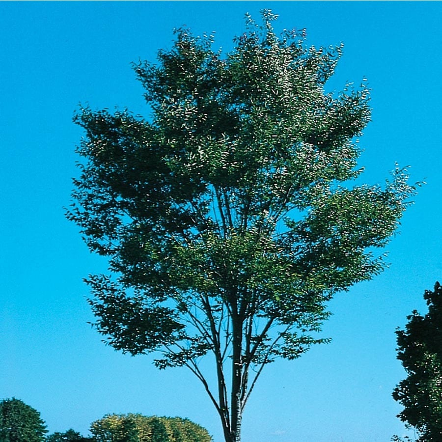 12.7-Gallon Zelkova Green Vase Shade Tree (L7836)