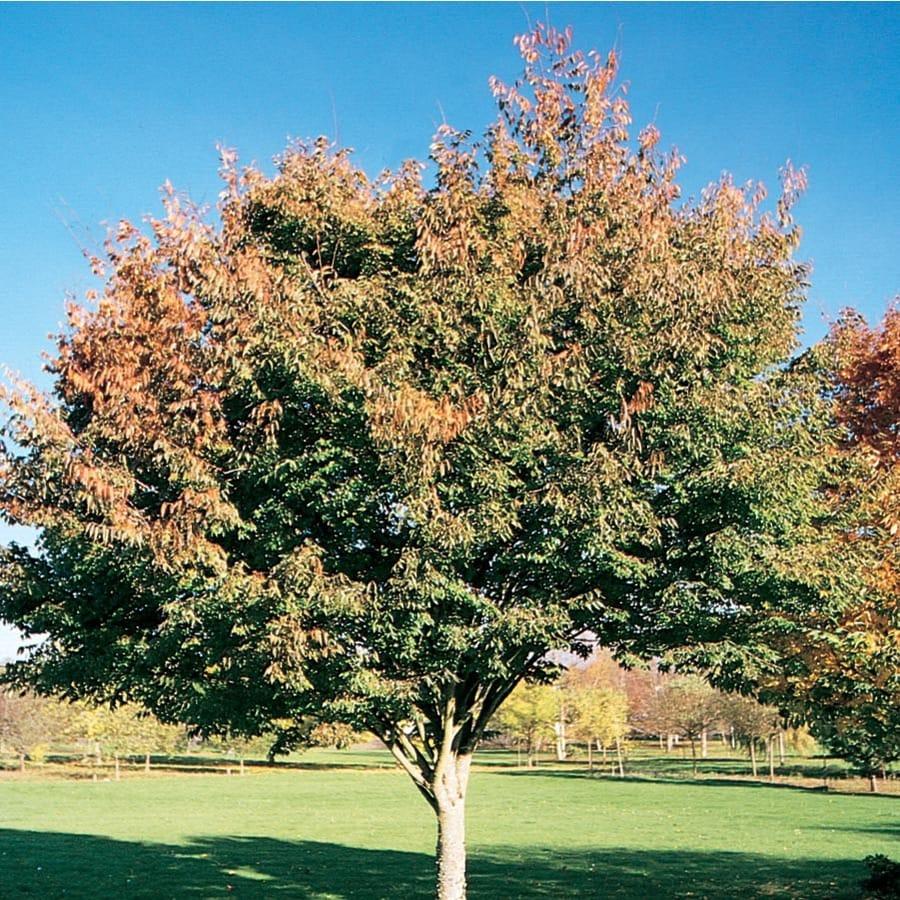 12.7-Gallon Village Green Zelkova Shade Tree (L14486)