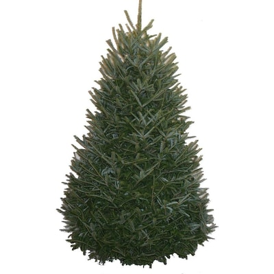 Lowes Fresh Christmas Trees.5 6 Ft Fraser Fir Real Christmas Tree At Lowes Com
