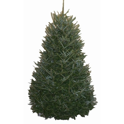 Real Christmas Tree.10 12 Ft Fraser Fir Real Christmas Tree At Lowes Com