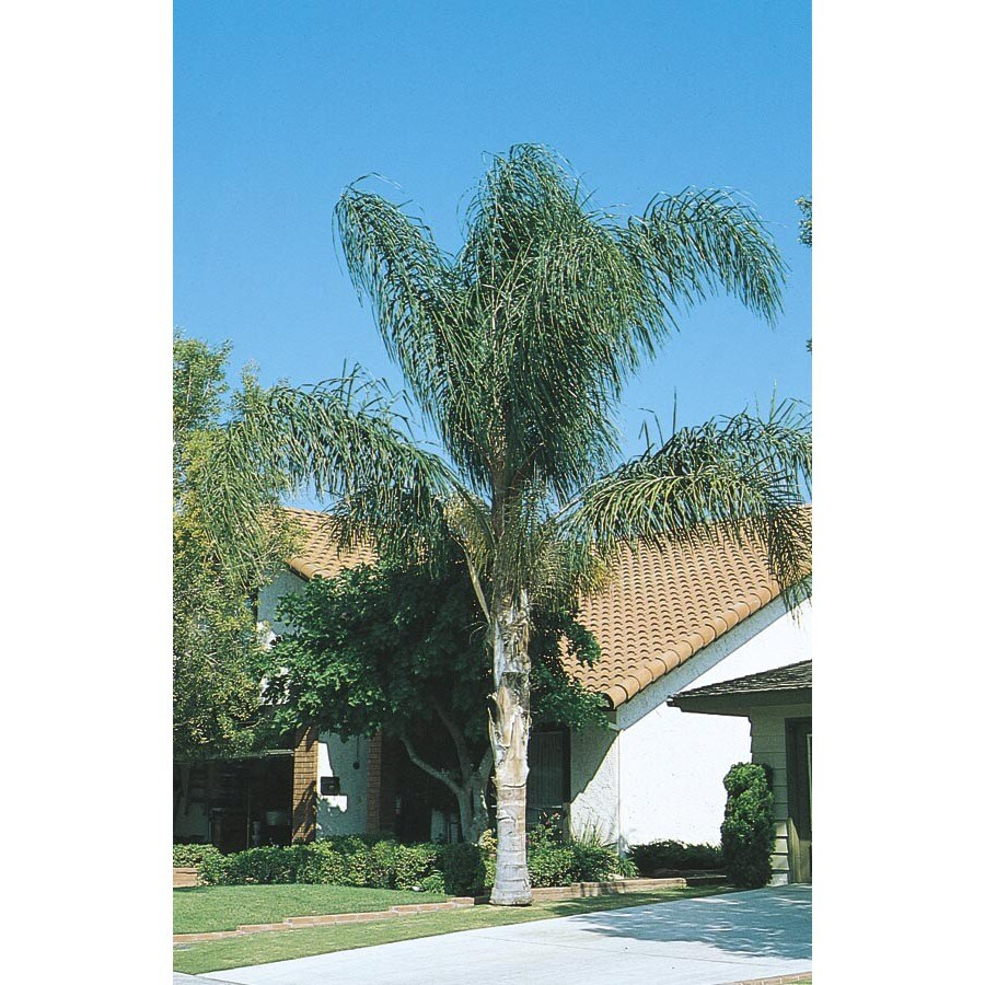 28.5-Gallon Queen Palm (L5784)