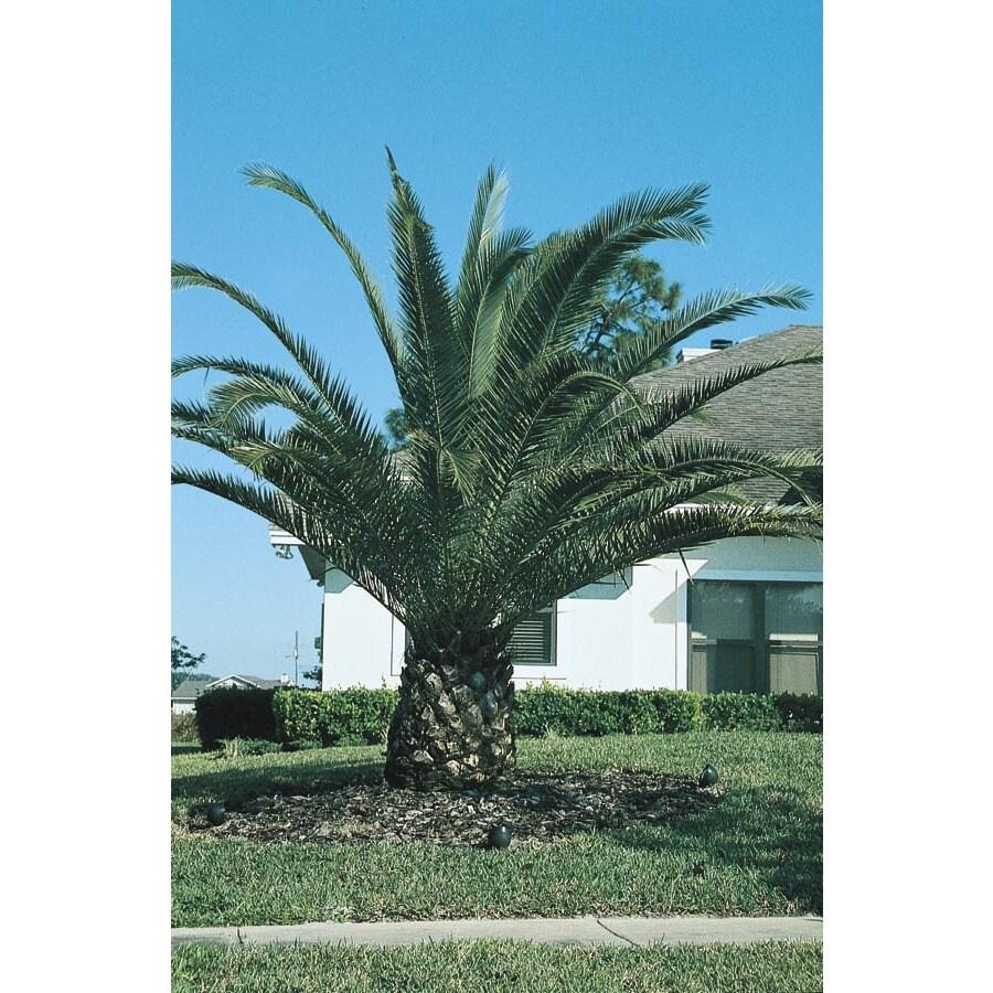 Canary Island Date Palm (L7541)