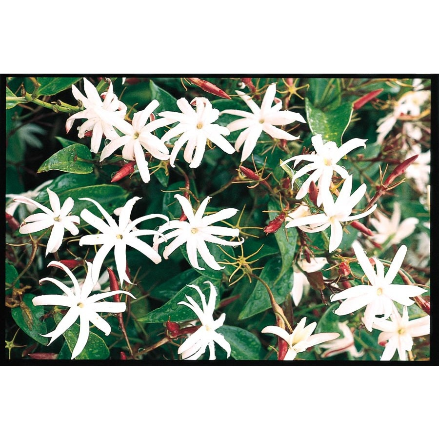 13-Gallon Star Jasmine (L8609)