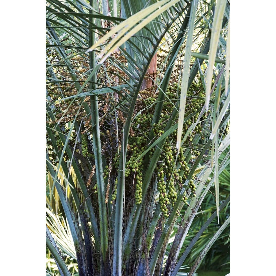 Butia Palm (L14448)